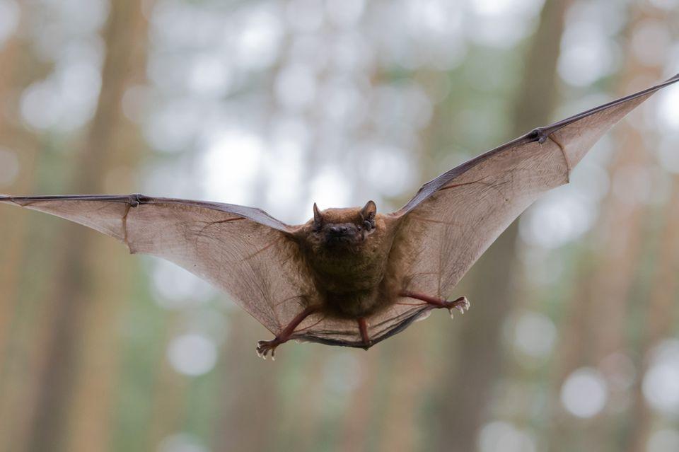 attract bats | bat flying | pest detective | pest control
