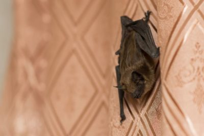 bat infestation | bat in house | bat exterminator | pest detective