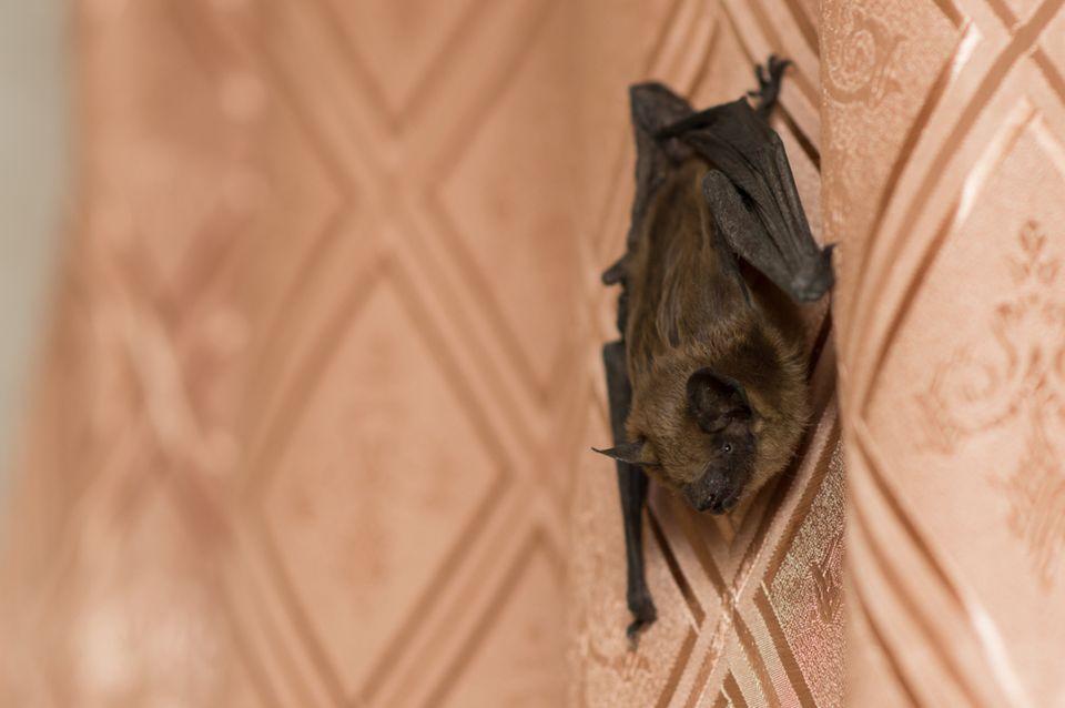 bat infestation | bat in house | bat exterminator | pest detective