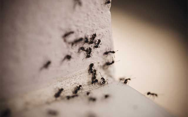 Vancouver pest infestation control | summer pests | ant colony | insect control and extermination | pest detective