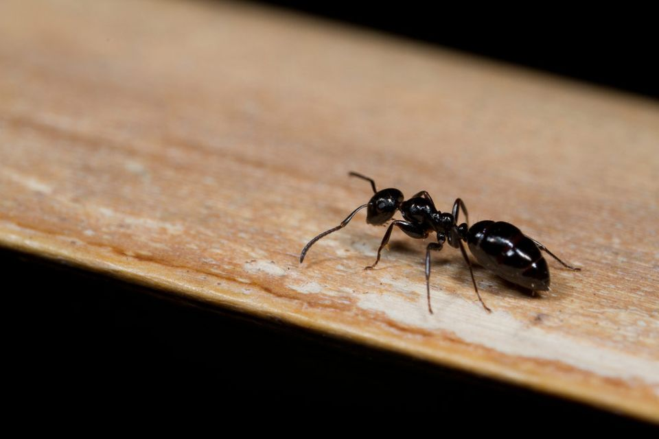 damp wood termite | cleaning mistakes causing pests | ant infestation | pest detective insect extermination