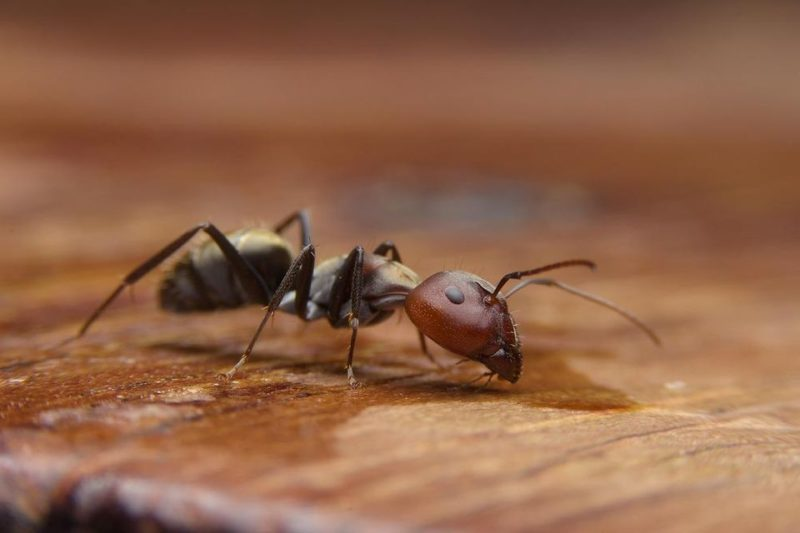 winter ant infestation | ant on wood | insect exterminator | pest detective