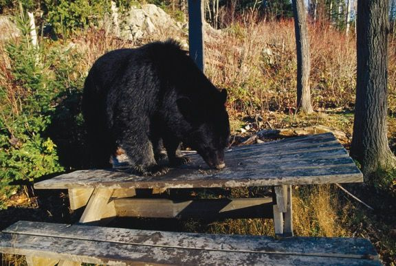 Bear Prevention Keeping Safe From Bears In Bc Pest