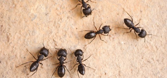 carpenter ant infestation | ants crawling | insect control and extermination | pest detective