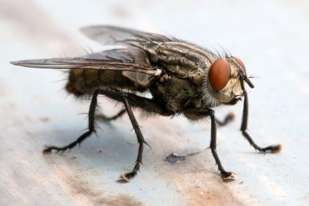 cluster flies pest control | Pest Detective Pest Control Services