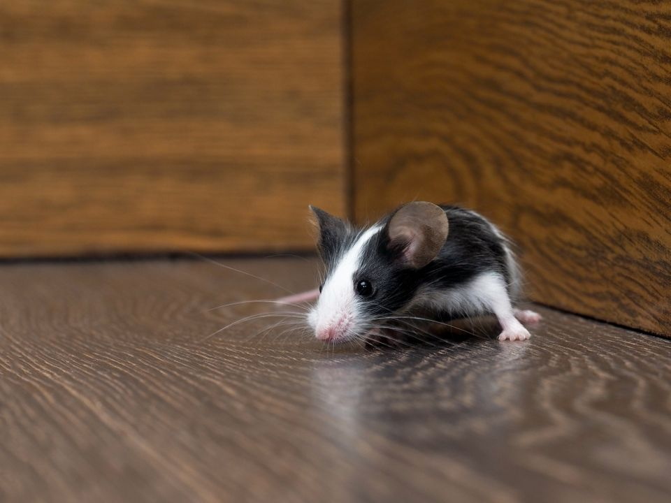 prevent pests from your home | mouse on the floor | Pest Detective - Pest Control