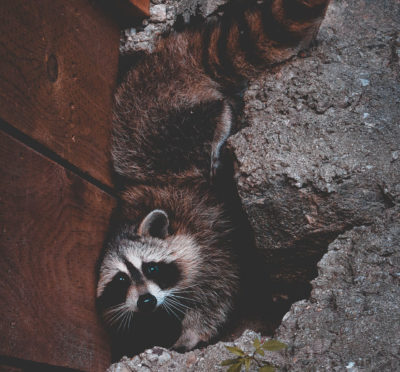 raccoons hiding at home | Pest Detective | Pest Control Vancouver