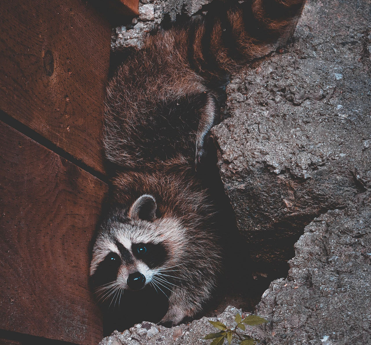 raccoons hiding at home | Pest Detective | Pest Control Vancouver