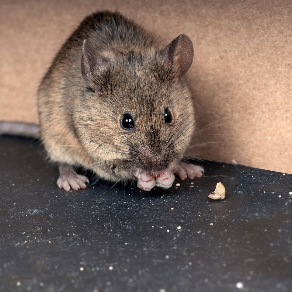 keep mice out | rat eating food | rodent exterminator | pest detective