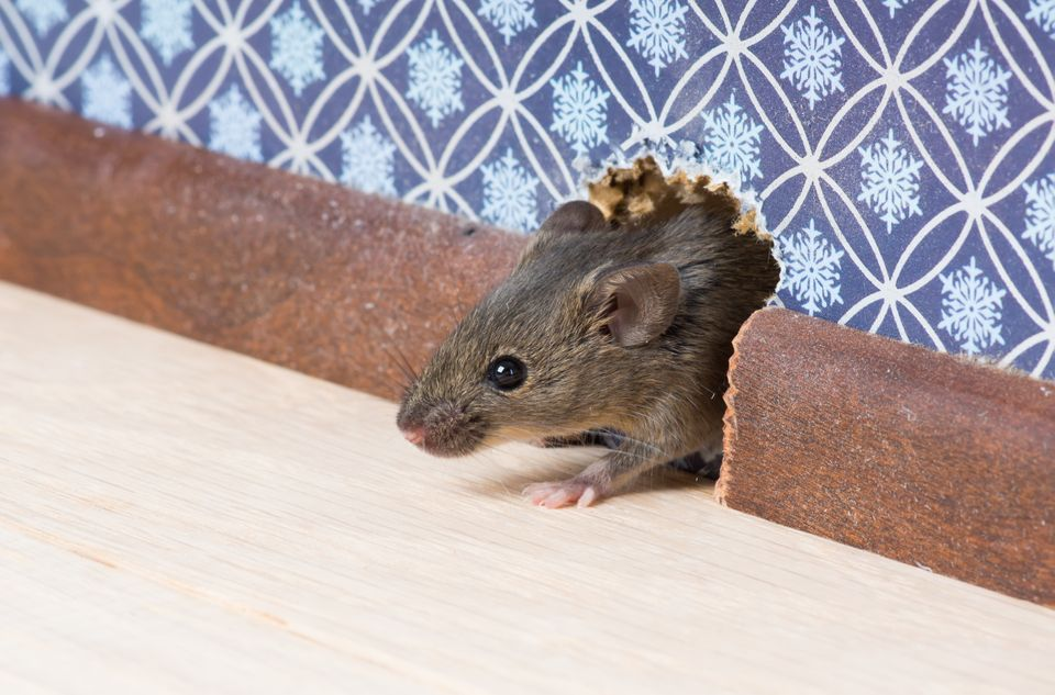 termite rodent extermination | rat in hole in wall | rodent control and extermination | pest detective