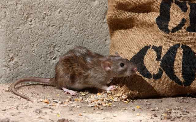 common bc winter pests | rat by bag | rodent extermination | pest detective
