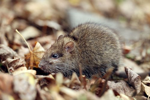 rodent problem | rat in leaves | rodent control and extermination | pest detective