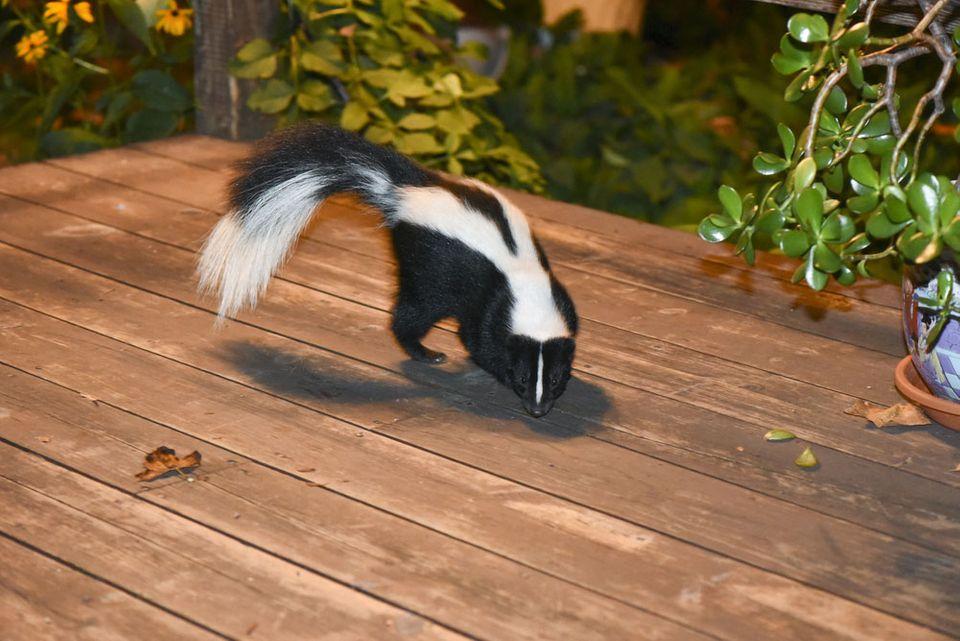 skunks smell | skunk on deck | pest control pest exterminator | pest detective