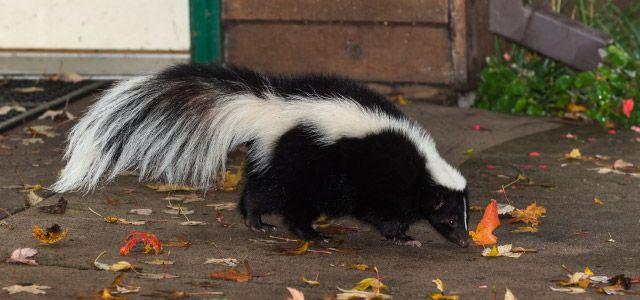 bowen island skunks | skunk | pest control | pest detective