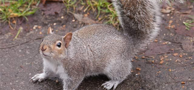 noises in attic | squirrel | pest and rodent extermination | pest control