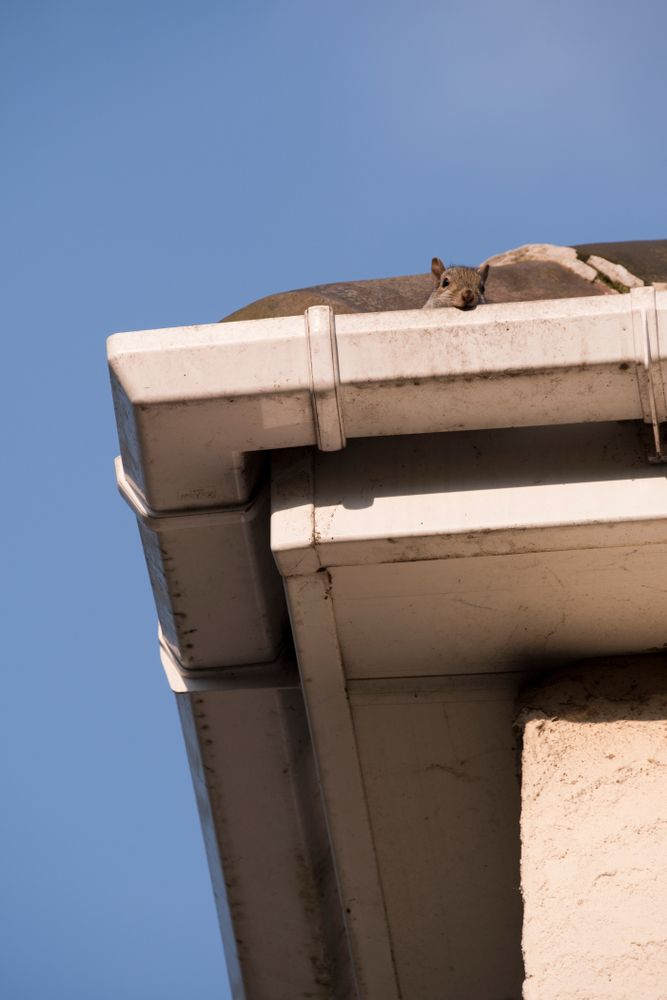 spring pests | squirrel on roof | pest and rodent control and extermination | pest detective