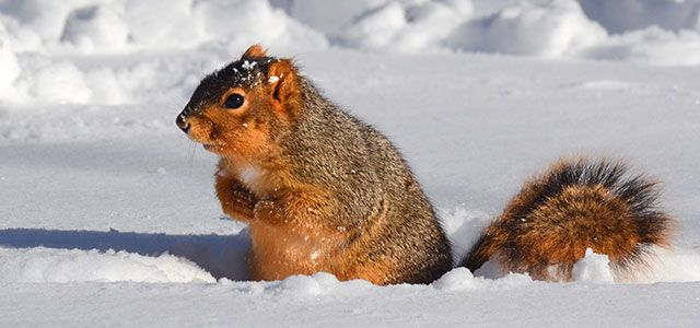 prevent rodents | squirrel in snow | pest control pest detective