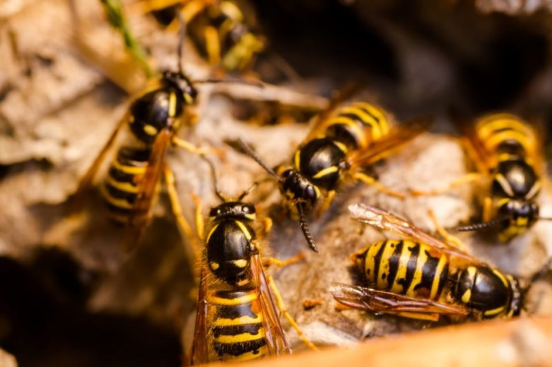 wasp exterminator | wasps | pest detective insect extermination