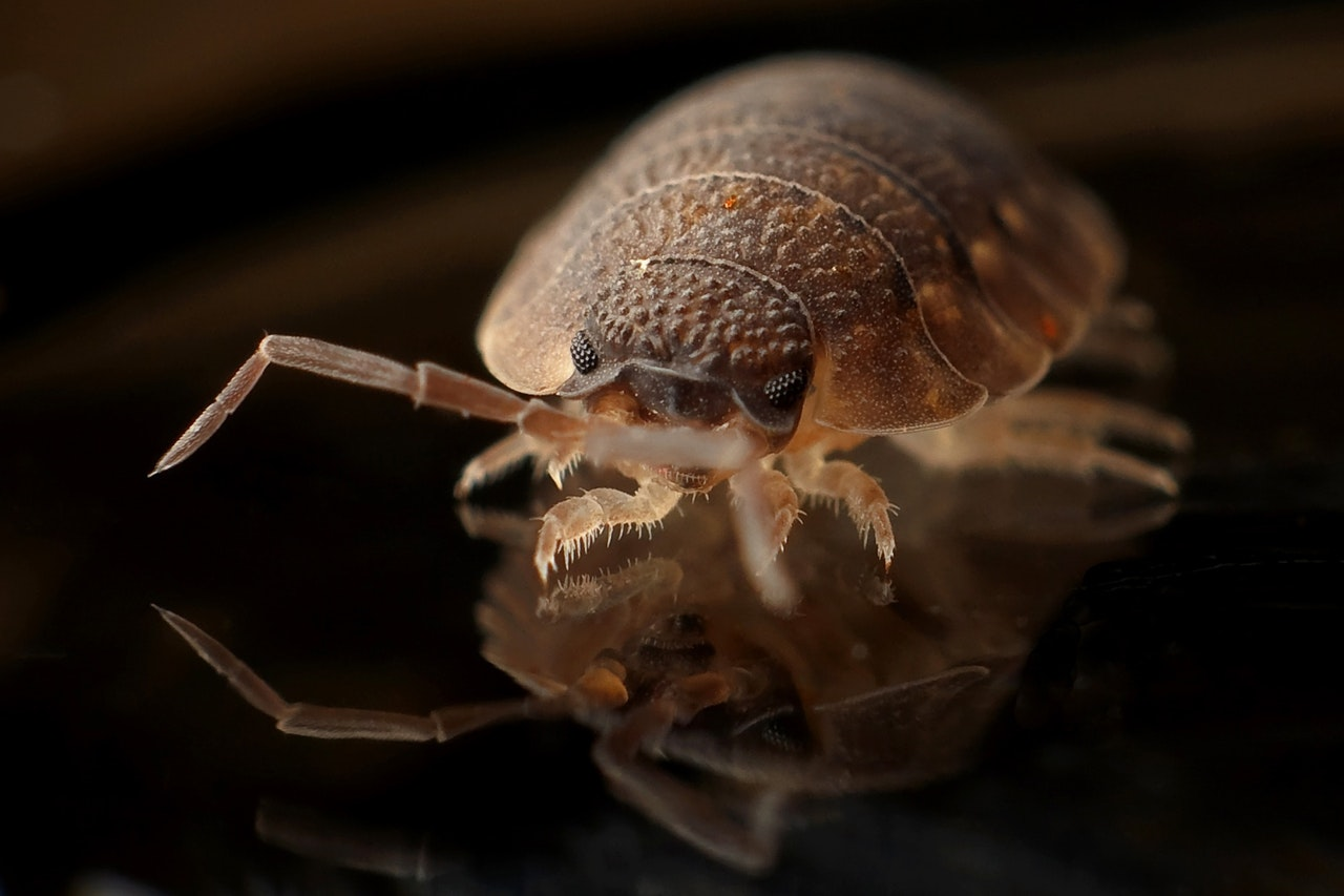 bed bugs exterminator close look | Pest Detective Vancouver