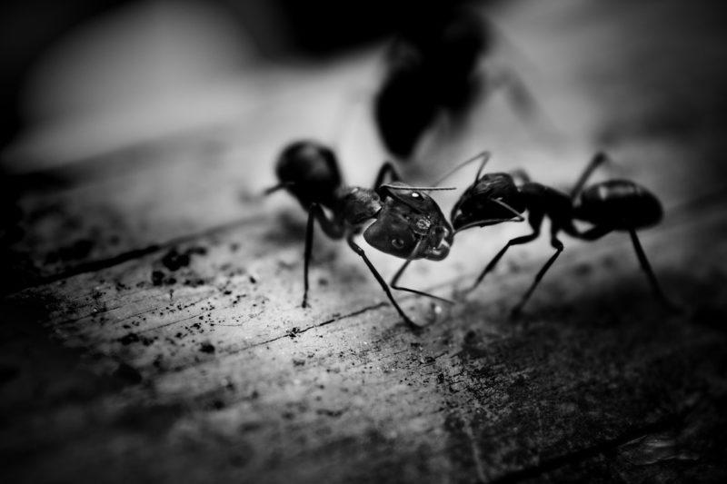 Carpenter Ants Vancouver   Pest Control   Pest Detective
