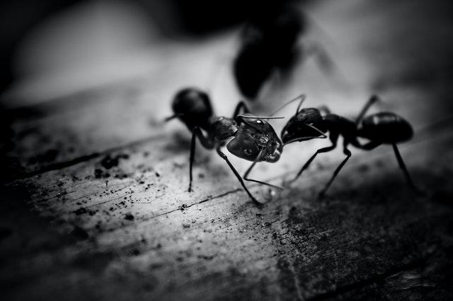 Carpenter Ants | Pest Control Vancouver | Pest Detective