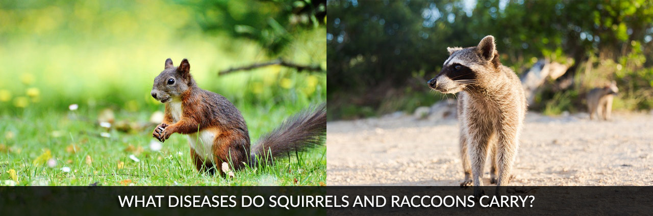 What Diseases Do Squirrels and Raccoons Carry? | Vancouver Pest Control | Pest Detective
