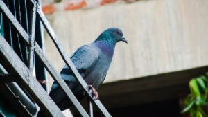 How to Keep Pigeons Off Your Balcony | Pest Detective - Pest Control Vancouver